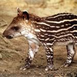 pati-tapir-362829.jpg