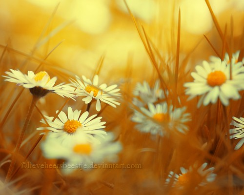 daisy_by_lieveheersbeestje-d4cduwt.jpg