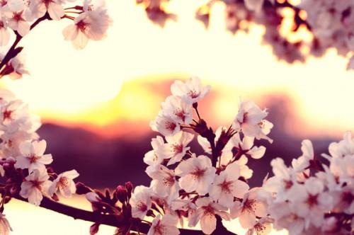 cherry_blossom_sunset_by_jyoujo-d4ef6qm.jpg