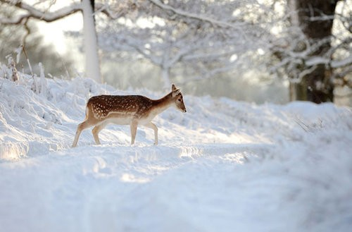 A-deer-walks-through-the--001_large.jpg