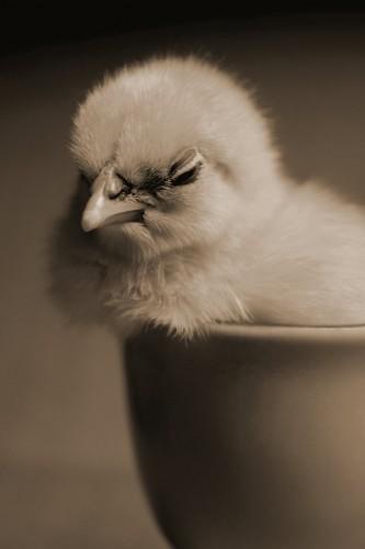 chick_by_lustrebustre-d33ut6e.jpg